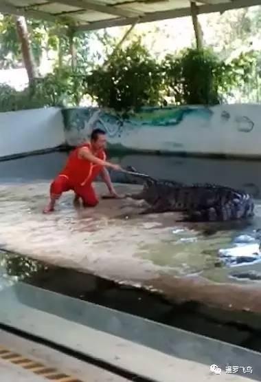 泰国苏梅岛鳄鱼表演出意外!驯养员被咬住头狂甩
