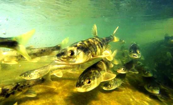 视频|青海湖湟鱼洄游季,让人敬畏的鱼类
