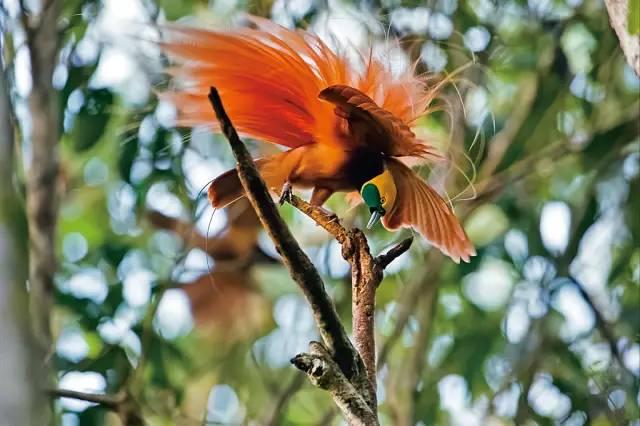 【美图欣赏】罕见的天堂鸟,美极了!