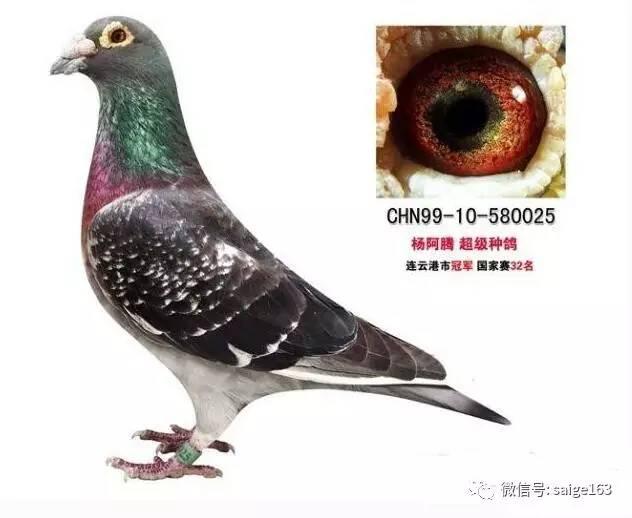 TOP5. 黑雨点,此类鸽子算是比较少的鸽子,但是只要出了这羽色鸽子图片