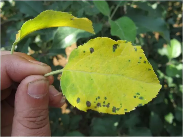 苹果树黄叶打什么药图片