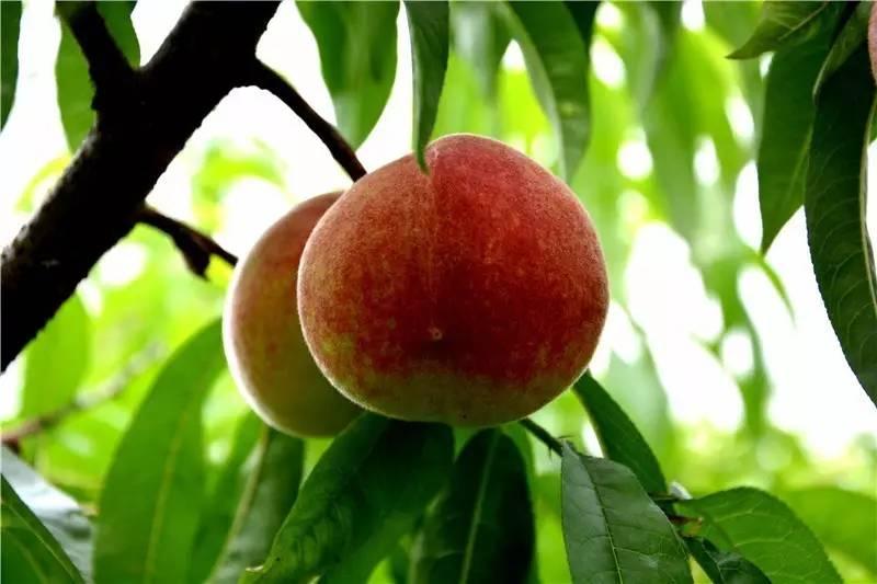 采摘桃子不仅仅是想买几斤十几斤鲜桃给家人尝鲜,更重要的是,在桃园里图片