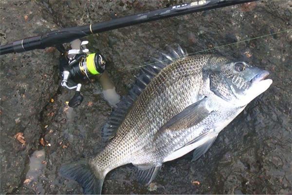 海产鱼_黑鲷鱼是一种较为常见的海产鱼,俗称有乌格,海鲋,青鳞加吉,青郎,乌颊