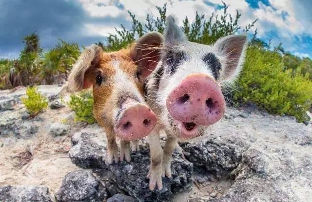 """这个夏天,我只想去巴哈马和一群""""二师兄""""猪猪游泳!"""