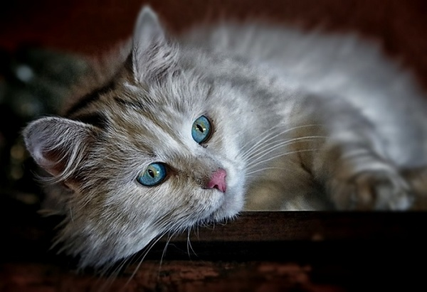 猫糖尿病的治疗图片