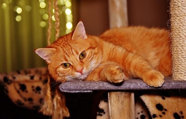 猫糖尿病怎么治疗最好图片