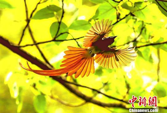 """""""中国最美小鸟""""蓝喉蜂虎及寿带鸟现身湖北潜江(组图)"""