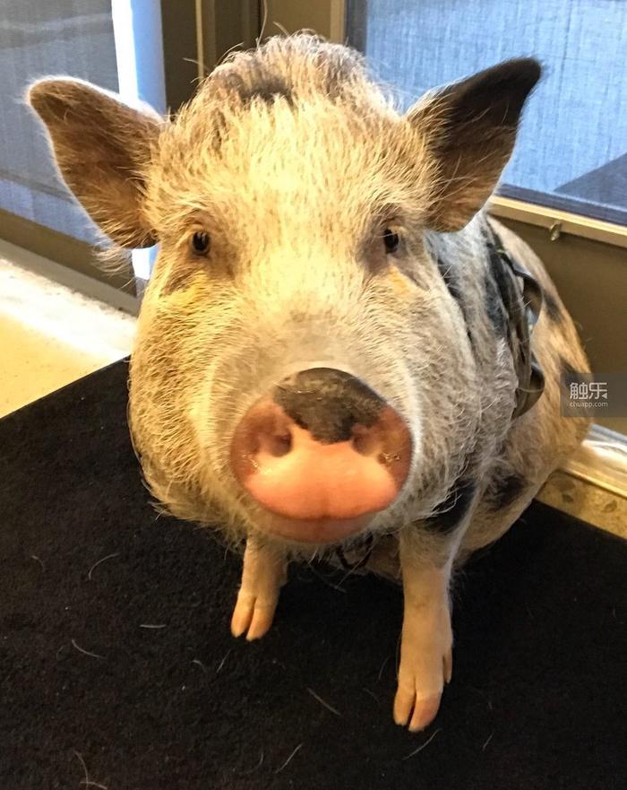 """顽皮狗工作室的新成员是头猪,它或许要参与《最后生"""""""