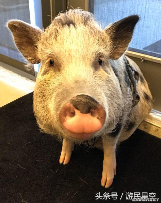 顽皮狗养了头猪 它可能会在《最后生还者2》中登场