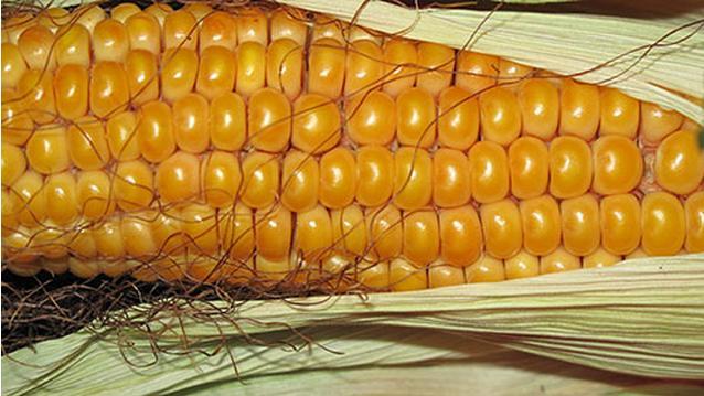 最棒的玉米_最棒的玉米,最棒的你 励志故事网