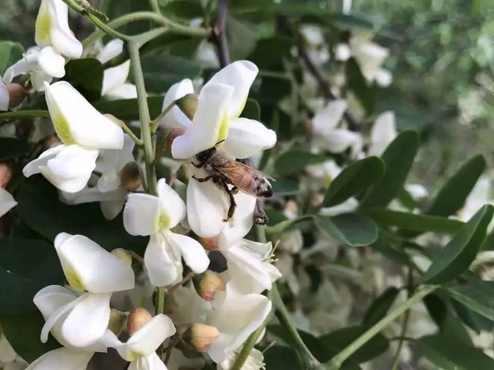 小蜜蜂采蜜ing.图片