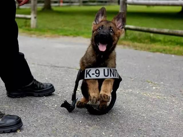 小警犬受训后第一次考试,它认真抓坏人的模样把考官萌晕了