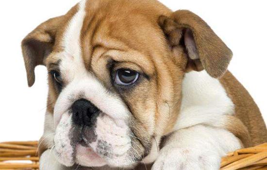 沙皮狗怎么养?夏季沙皮狗怎么护理?