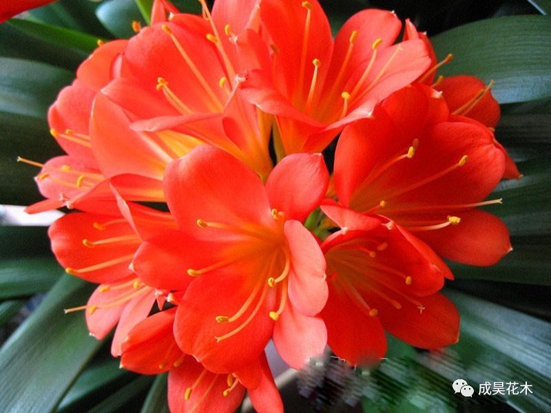 君子兰应该什么季节开花图片