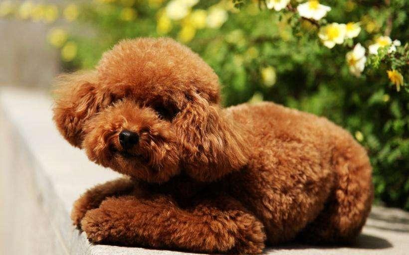 咖巴斯顿提醒狗主人:泰迪狗吃什么水果好?