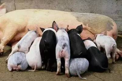 白色母猪发病多于黑色母猪,当地土种猪不易发病,引进的高产外来品种图片