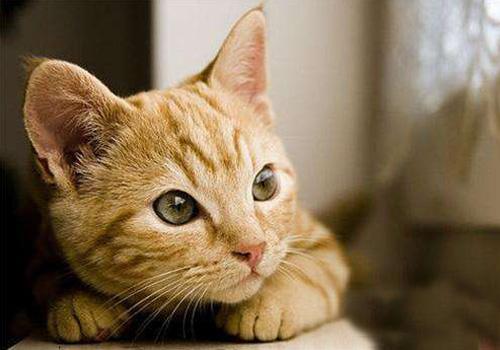 猫吃罐头对牙齿好吗,猫吃猫罐头好不好