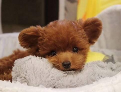 这只天生笑脸的小泰迪真的好可爱,就是这耳朵长的也太