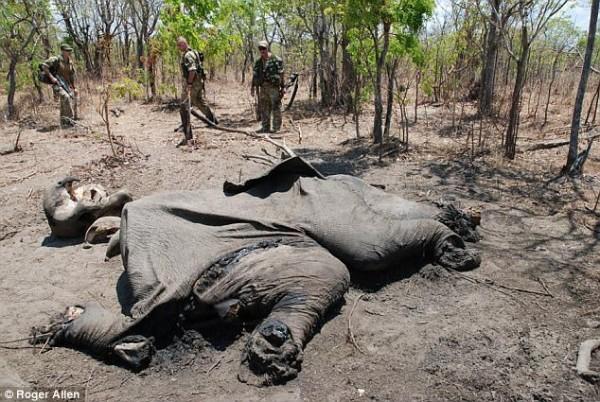 """男子偷猎大象锯象牙被抓,大哭:""""妈妈,帮我!"""" - 梅思特 - 你拥有很多,而我,只有你。。。"""