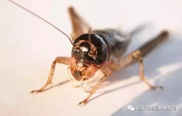 收藏 史上最全蟋蟀暗门图解