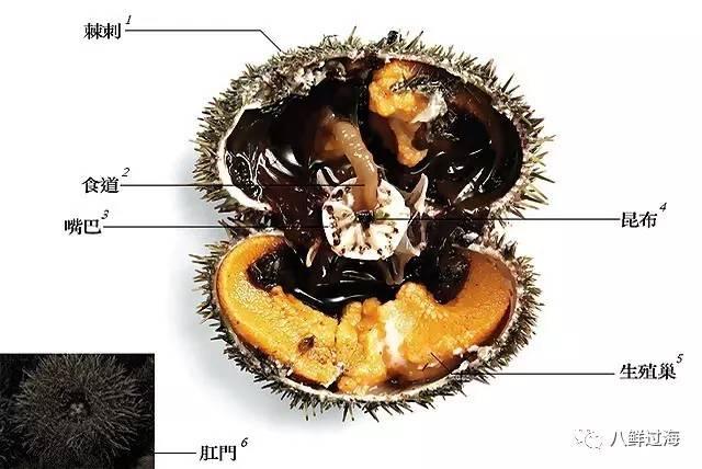 海胆的内部结构图 名称:英文名为seaurchin.日文名叫uni或云丹.