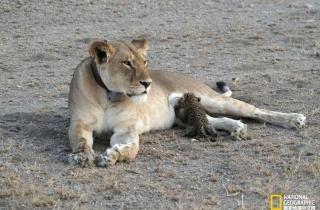 不是亲生胜似亲生,狮子妈妈和幼豹宝宝的故事