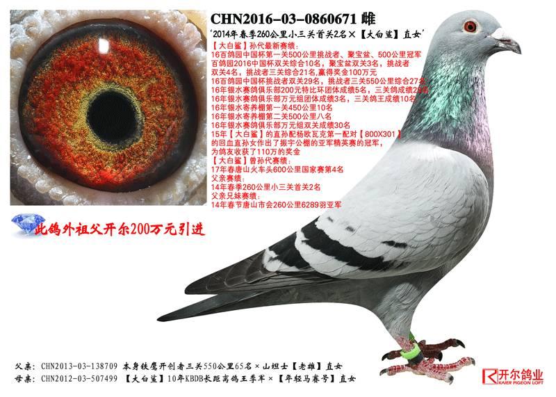 狮子鸽鸟类动物图示鸟鸽子800_571躲藏有很多教学急着梦见图片
