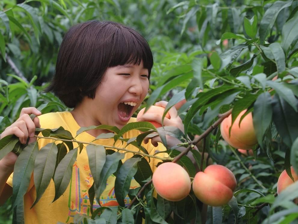 采摘桃子。