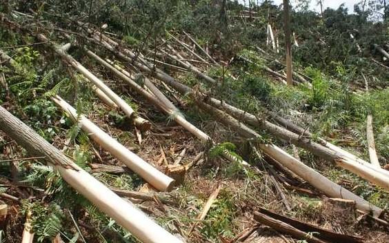 男子当选3个月村主任 盗伐林木毁50亩山林
