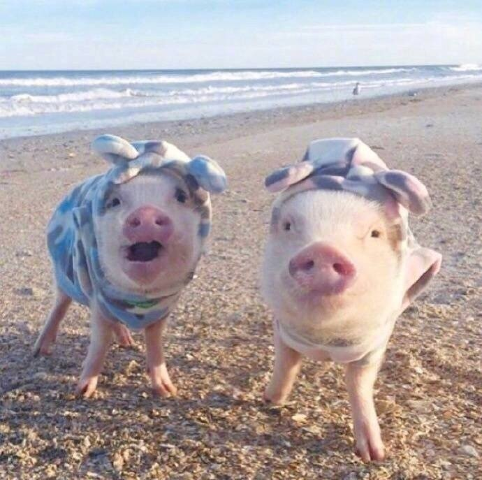 网友养的小小迷你猪,穿上衣服之后太可爱了