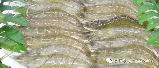 对虾塘有蓝藻如何处理_白对虾蓝藻_白对虾塘生蓝藻怎样办