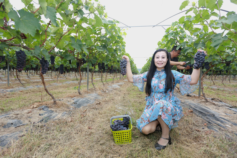 百亩葡萄成熟 郑州市民前来观光采摘
