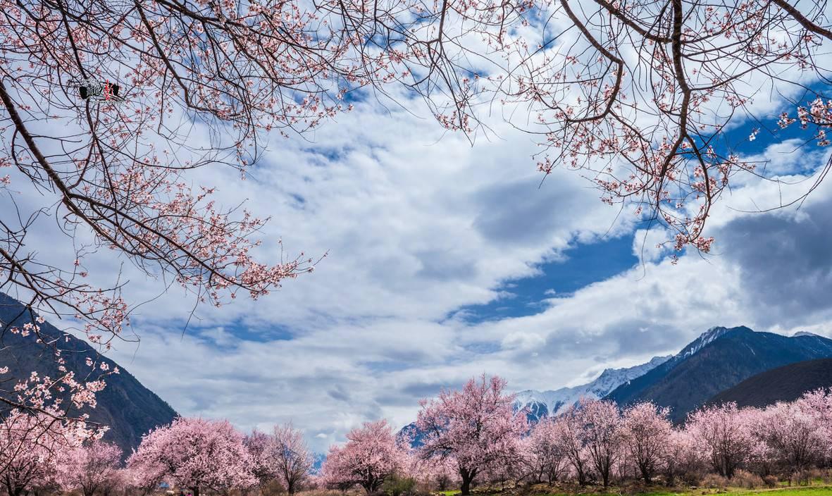 的如_西藏的春天是从林芝开始的,当西藏还未退去银妆,林芝的桃花已如醉霞绯