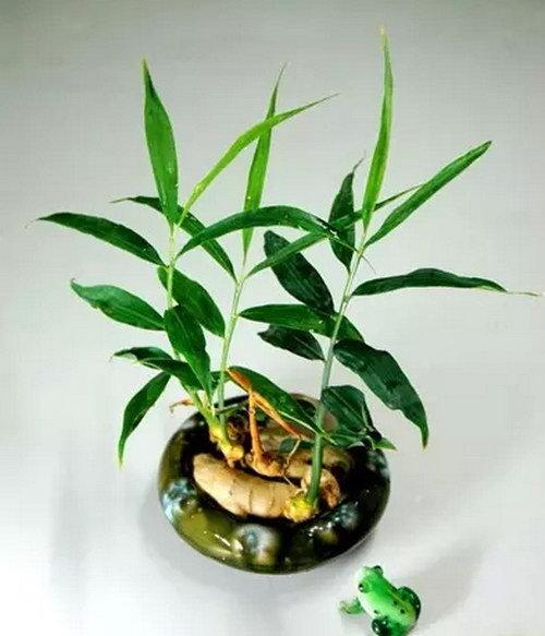 盆栽生姜的种植方法,以后都不用买着吃了
