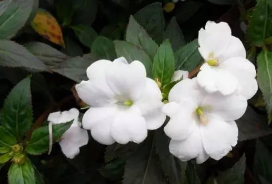 青州非洲凤仙批发基地-「草花」-马可波罗网