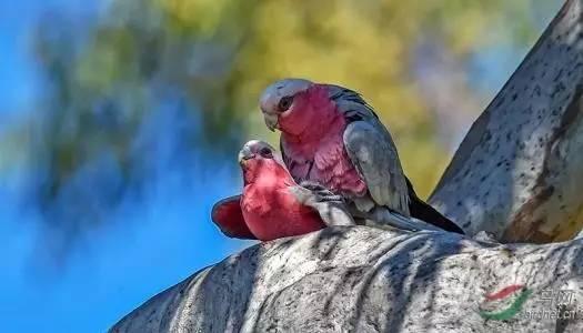 库克2017 世界鹦鹉3d系列(第四枚) 粉红色凤头鹦鹉图片