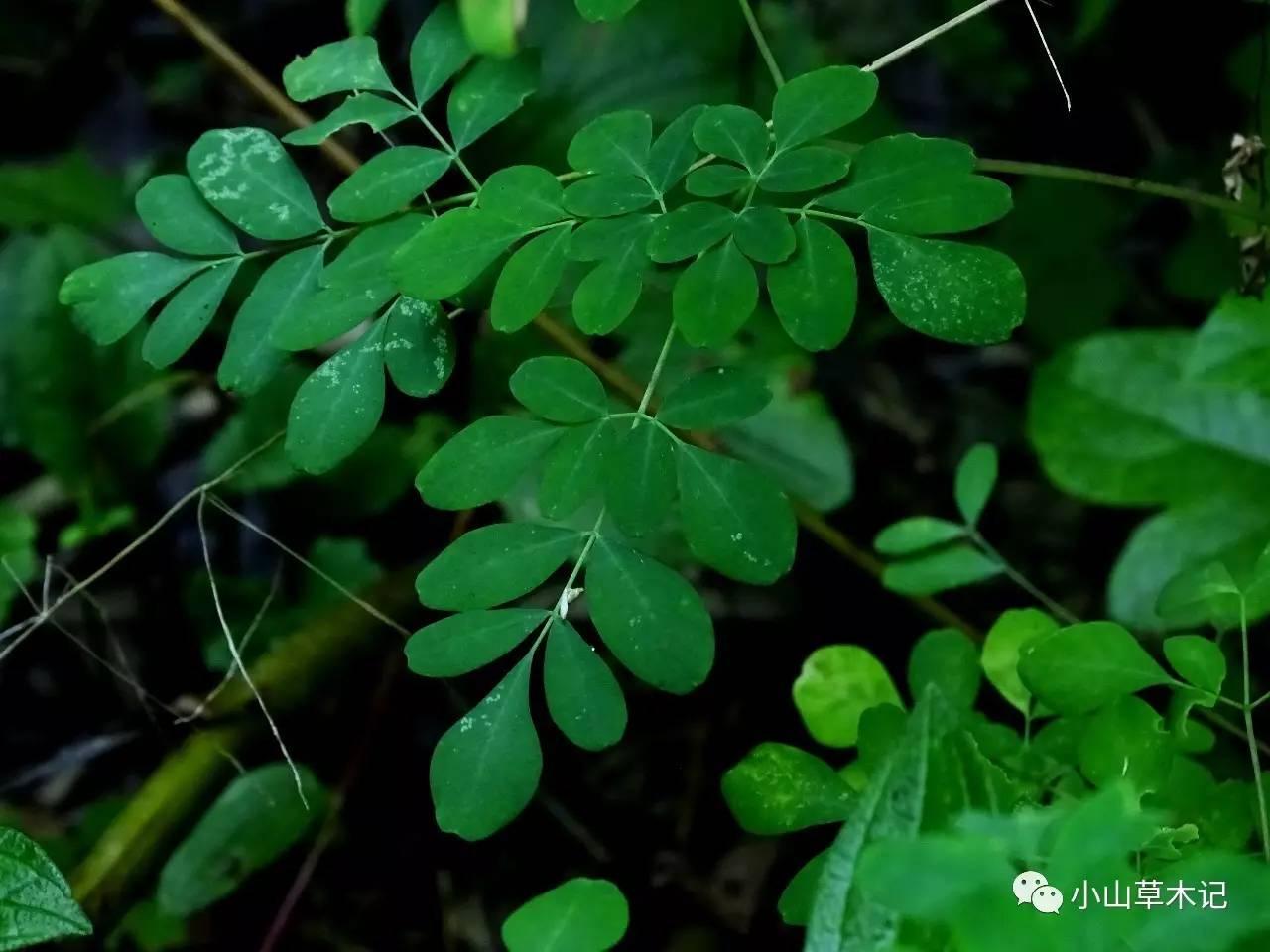 石椒草功能是什么