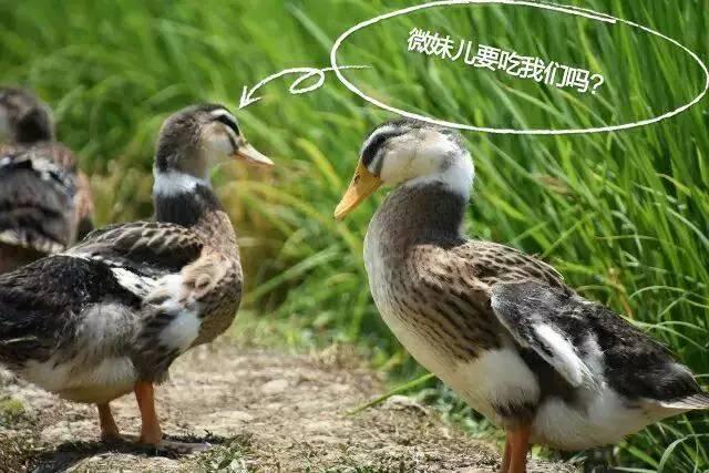 """免费品尝稻田鸭,稻田鱼,麻辣兔头……来什邡这个""""隐世图片"""