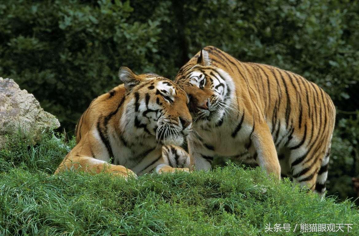 你是不是虎_全球却仅存3980头:24个维度,带你全面了解濒临灭绝的老虎!