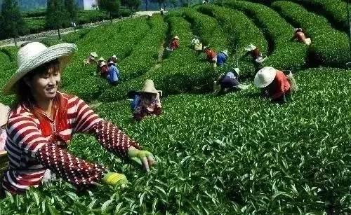 台湾的特产是什么茶_栟茶的特产_四川特产茶