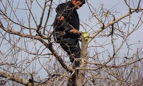 苹果树的夏季修剪技术 二
