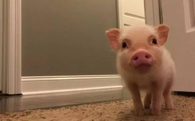 国外爆红粉红可爱迷你猪~快把它收进你的表情包!