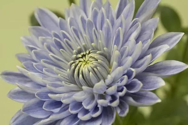 黄色淫情插菊花网站_日本人用转基因……把菊花变成了蓝色!图什么啊喂!