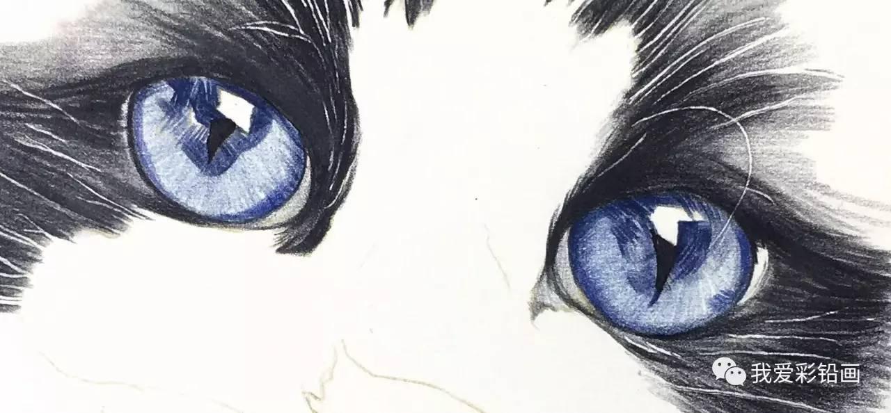 彩铅手绘~蓝眼睛布偶猫(细节大图)