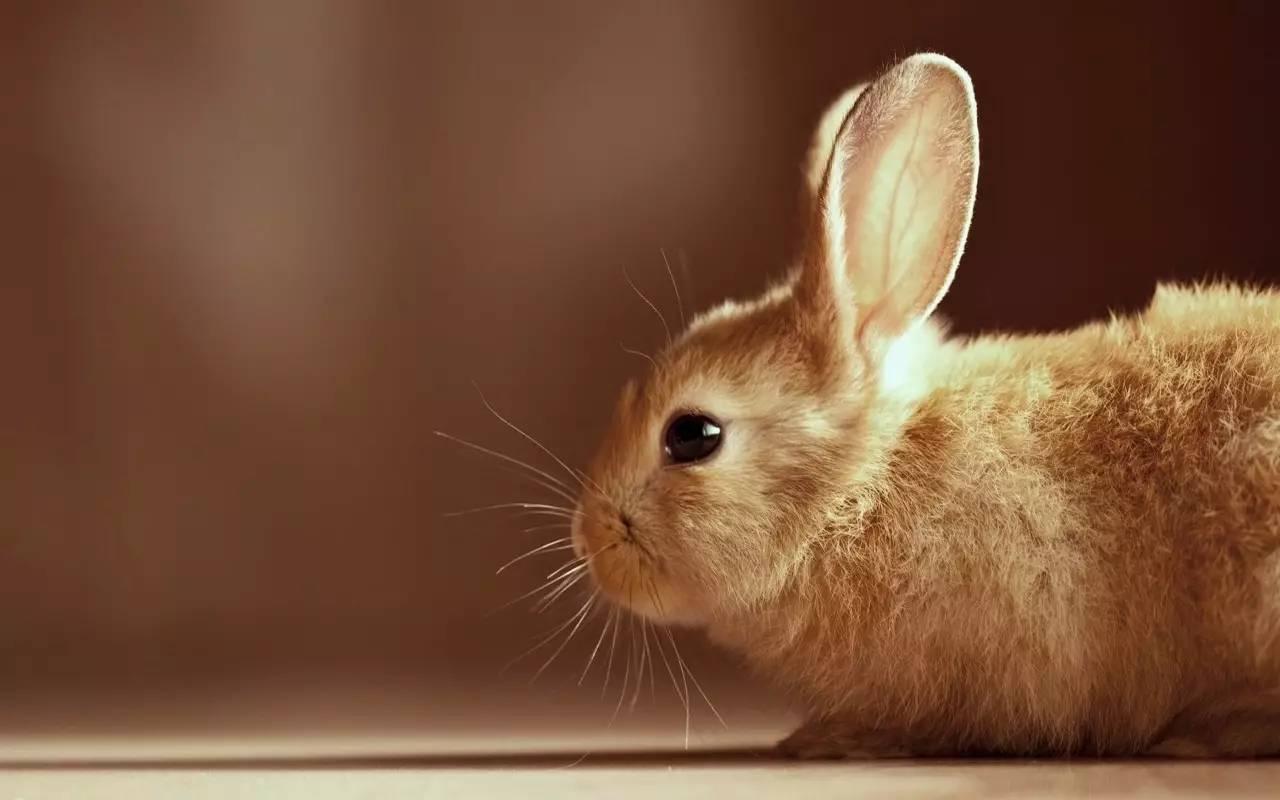 微信头像兔子