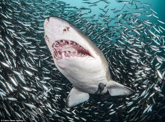 实验显示鲨鱼识数