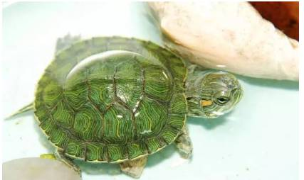 龟蛋的孵化技巧 忍