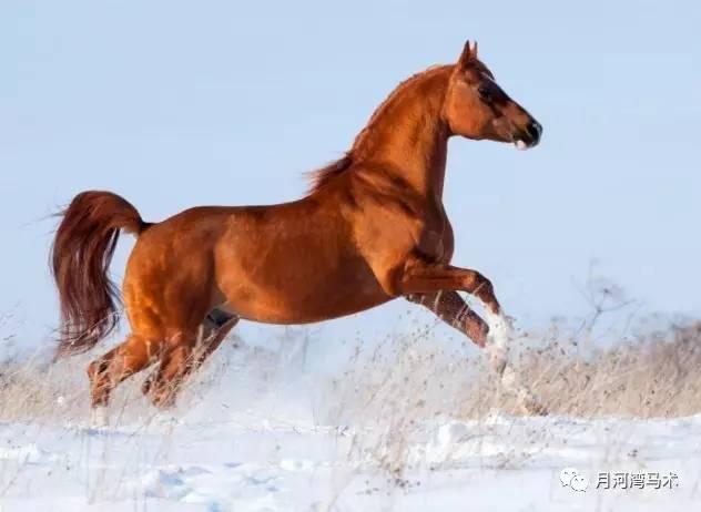 阿拉伯马 大部分马都很漂亮,但是很多人认为阿拉伯马最高贵.图片