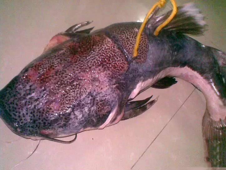 但不是本地品种,而是美洲亚马逊河里的,水族馆里常见的红尾鲶.