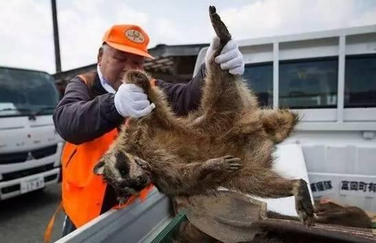 日本福岛核事故6周年,动植物变异,变异野猪泛滥成灾